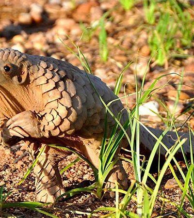 Os filhotes de pangolim parecem sempre estar ensaiando pedir alguma coisa