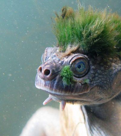 Tartaruga de moicano que respira pelos órgão genitais é um dos animais mais ameaçados