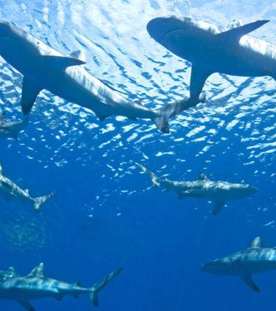 'Estrada de tubarões' de mais de 800 quilômetros pode se tornar área de proteção