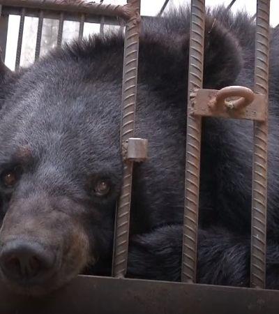 2 anos após a adoção, chinesa descobre que seu cachorrinho era um urso