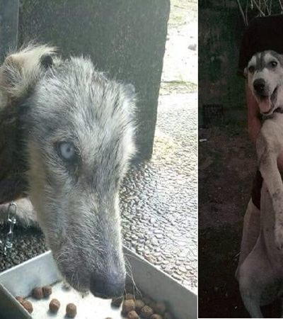 O antes e depois desta Husky vai te encher de alegria