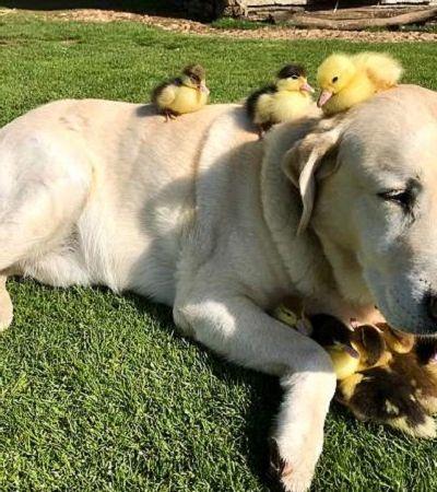 Aos 10 anos, este labrador se tornou pai adotivo de nove patinhos filhotes