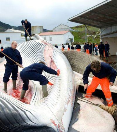 Sob muitos protestos, está aberta a temporada de caça às baleias na Islândia