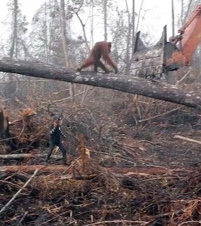 Orangotango lutando contra escavadeira para salvar seu habitat é de estraçalhar o coração