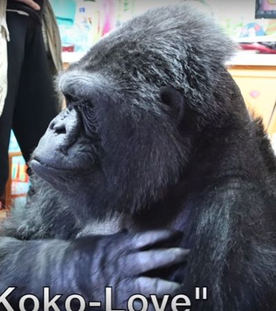 Morreu aos 46 anos Koko, a gorila que se comunicava por linguagem de sinais