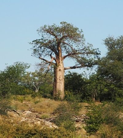 Baobás milenares africanos estão morrendo e assustando pesquisadores