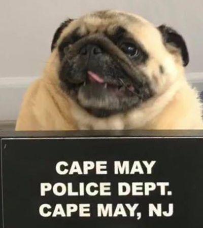 Polícia dos EUA vira notícia ao 'prender' uma cachorrinha pug