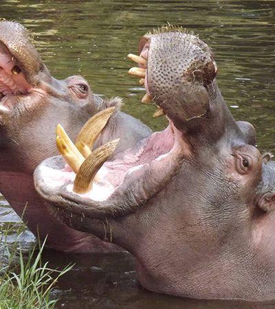 O dilema ambiental causado pelos hipopótamos de Pablo Escobar 25 anos após sua morte