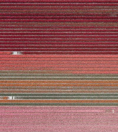 A beleza geométrica dos campos de tulipas é retratada em imagens aéreas