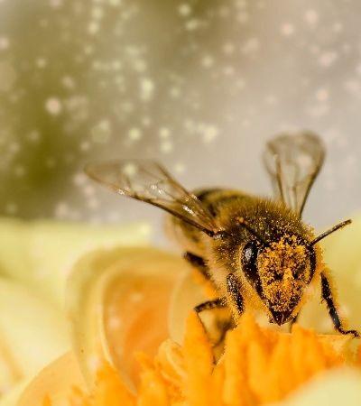 Por que a extinção das abelhas pode acabar com a humanidade?