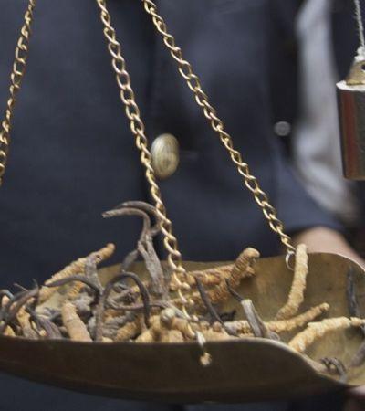 Conheça o 'viagra do Himalaia', o fungo parasita mais caro que ouro