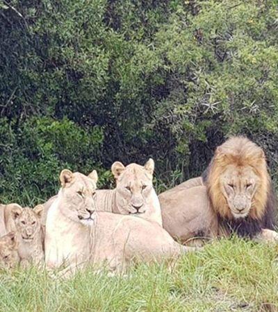Caçadores invadem reserva de rinocerontes e acabam devorados por leões