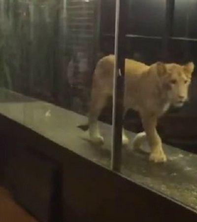 Para 'entreter clientes' restaurante mantém leoa presa em aquário na Turquia