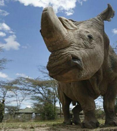 Embriões de rinocerontes feitos em laboratório podem salvar espécies em extinção