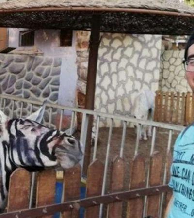 Zoológico no Egito garante que burro pintado e com listras desenhadas é uma zebra