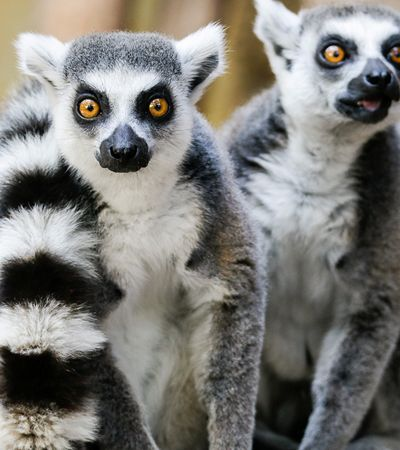 Lêmures são agora a espécie de primata mais ameaçada do planeta