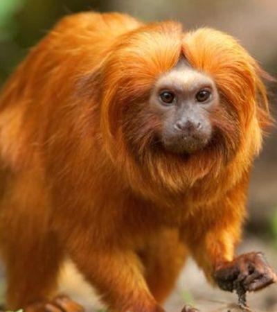 Brasil é o país com maior número de primatas ameaçados de extinção no mundo