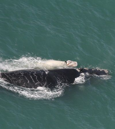 Resgatada há 15 anos, baleia reaparece no litoral catarinense