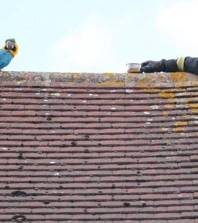 Arara mal educada xinga bombeiros ao ser resgatada de telhado