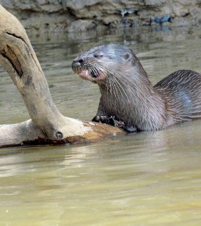 Após quase serem extintas, ariranhas reaparecem nos rios da Amazônia