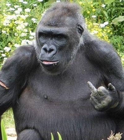Este gorila deixou bem claro o que ele acha de estar preso num zoológico