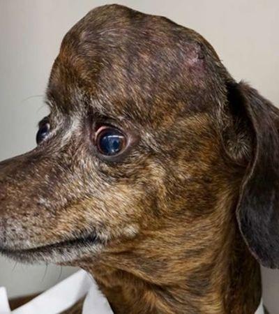 Cão com tumor cerebral ganha crânio 3D e tecnologia poderá ser usada em humanos, dizem médicos