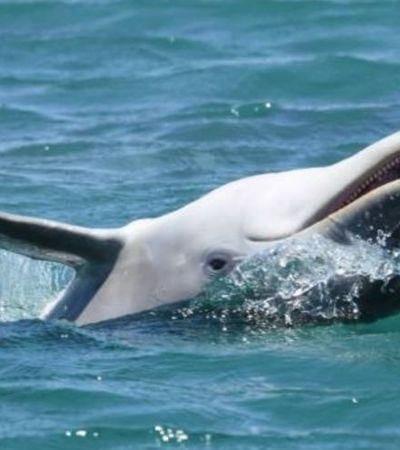 Não está fácil para ninguém… Golfinhos usam toxina do baiacu para ficarem doidões