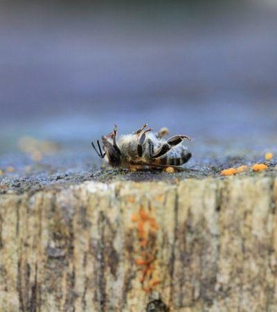 Tragédia: Agrotóxico da Monsanto está exterminando as abelhas, aponta estudo