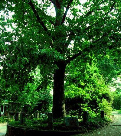 A árvore que é literalmente dona de si e a importância de sua condição jurídica surreal