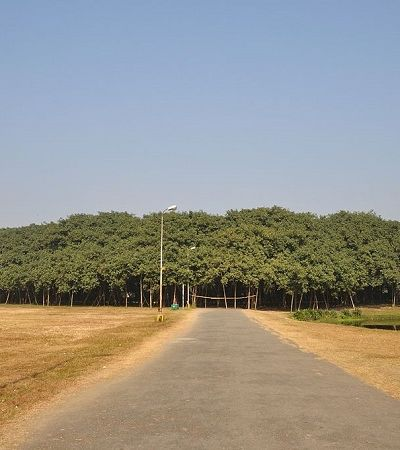 A árvore mais larga do mundo mais parece uma floresta inteira