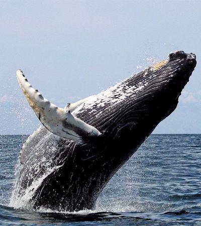 Brasil consegue acordo que garante proteção de baleias contra caça comercial