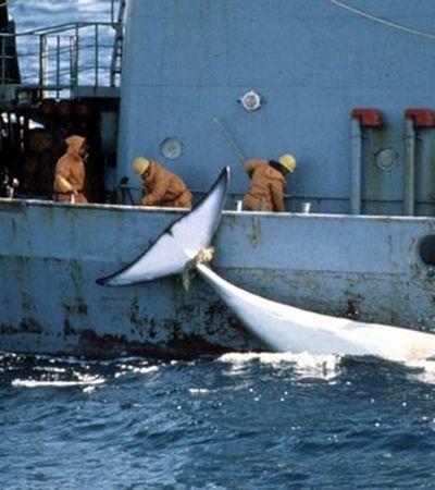 Votação global que pode legalizar caça a baleia acontece no Brasil