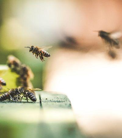 Abelhas estão viciadas em pesticida feito de nicotina
