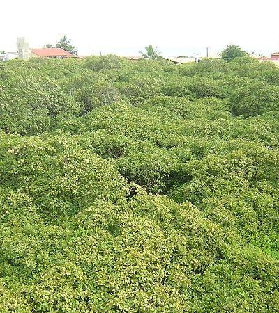 Dia da Árvore: este cajueiro é tão grande que parece uma floresta inteira