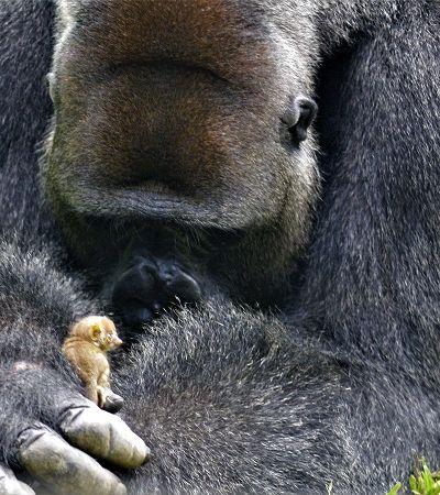 Reação de gorila ao encontrar pequeno ser na floresta nos inspira a ser 'animais melhores'