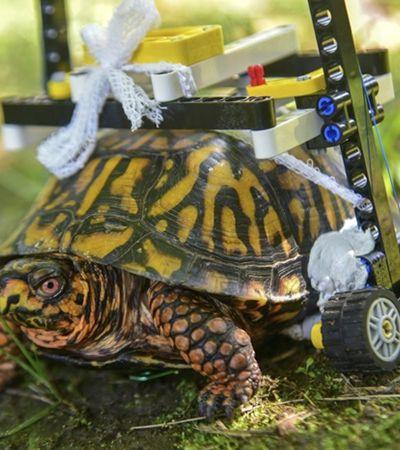 Tartaruga ganha cadeira de rodas de Lego pra se movimentar