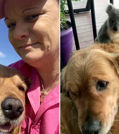 Golden salva vida de bebê coala e surpreende dono com show de fofura