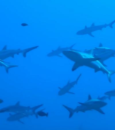O paraíso de águas claras com a maior concentração de tubarões do planeta