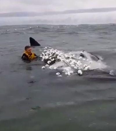 Surfista salva baleia presa em rede no mar de Santa Catarina; veja vídeo
