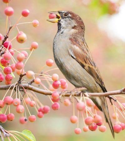 Revolta da natureza #3: aves bêbadas causam estrago em cidade após ingerir frutas fermentadas