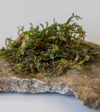 Radula: a planta que pode ser a maconha do futuro