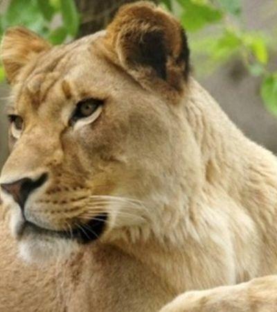 Em ataque de fúria, leoa mata pai de seus três filhotes em zoológico