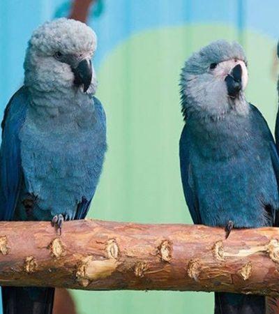 Retratada no filme 'Rio', ararinha-azul está extinta no Brasil