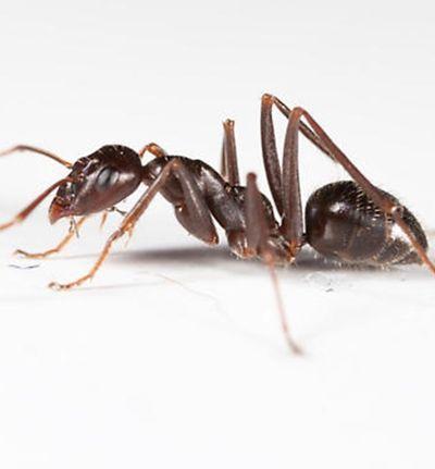Nem tão fofas assim: Formigas usam cabeça de inimigas como item de decoração