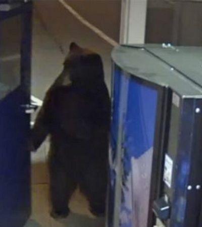 Urso abre porta e 'toma' sala da polícia rodoviária nos EUA