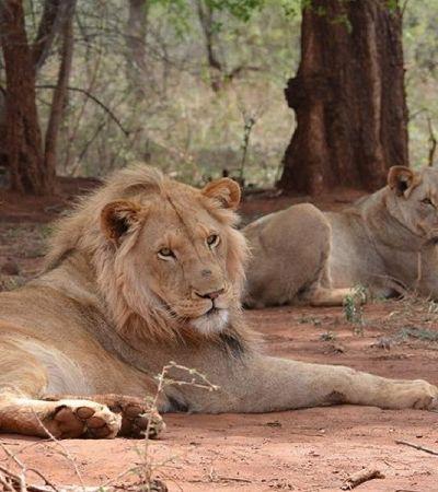 Leão branco raro leiloado para caçadores mobiliza ativistas do mundo todo; ajude