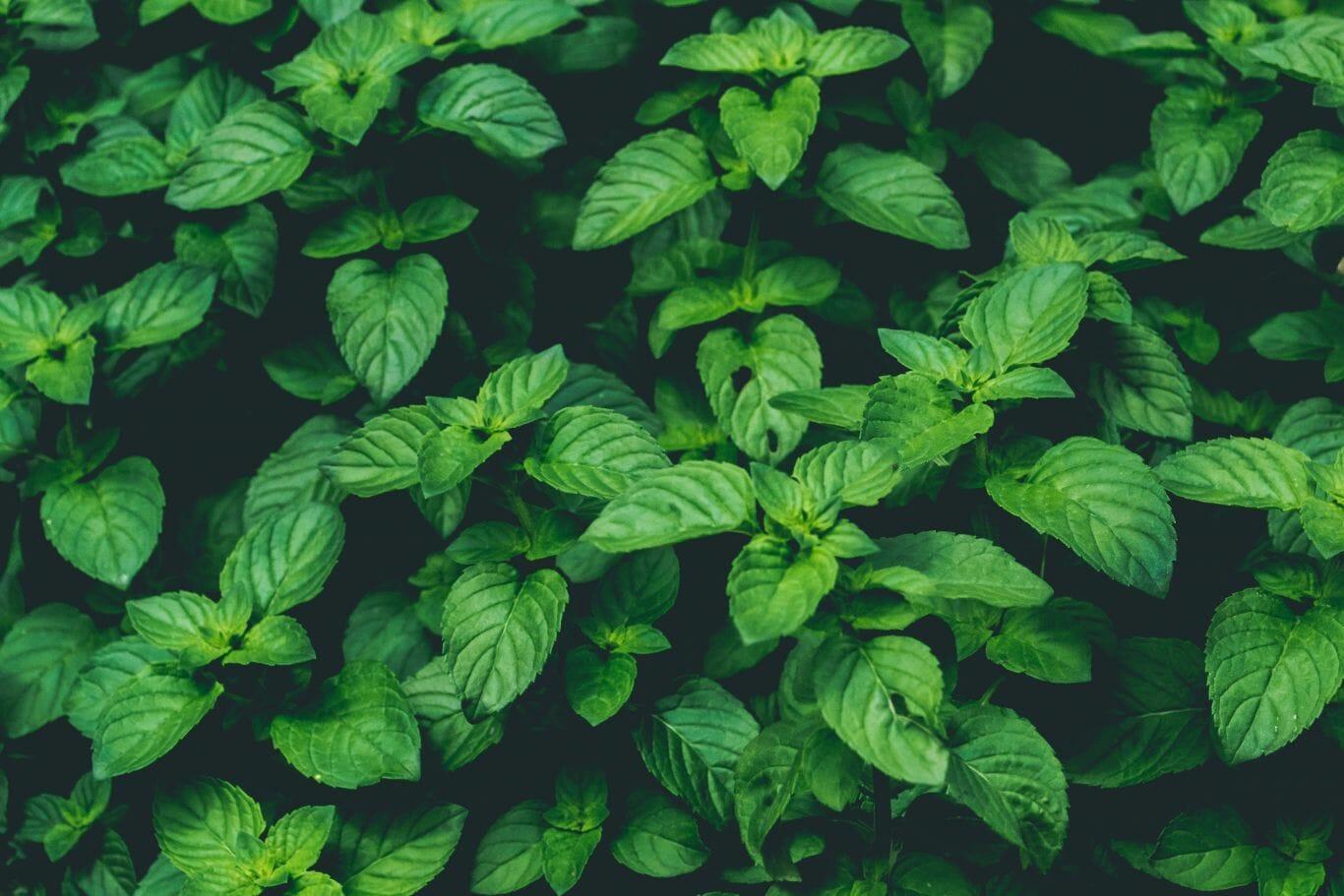 planta repelente inseto 5