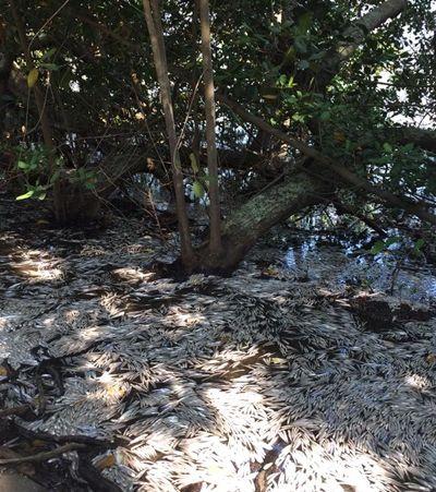 Treze toneladas de peixes mortos são retirados da Lagoa Rodrigo de Freitas, no Rio