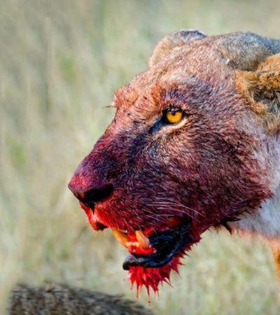 Entenda o que está levando leões a matarem caçadores na África do Sul
