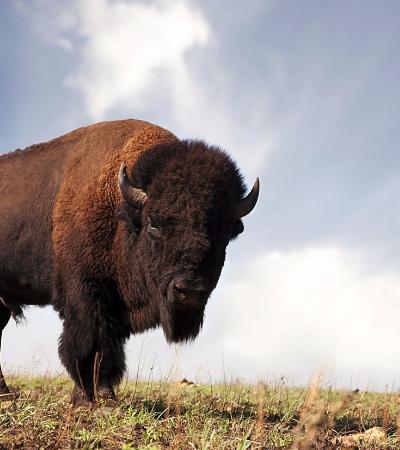 Como os indígenas dos EUA ajudaram os bisões a escaparem da extinção
